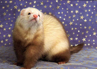 Ferret Color: Champagne Point