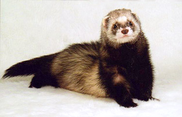 Ferret Color: Sable Standard