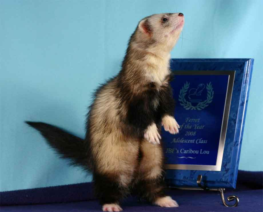 AFA 2008 Adolescent Ferret of the Year - JBF's Caribou Lou