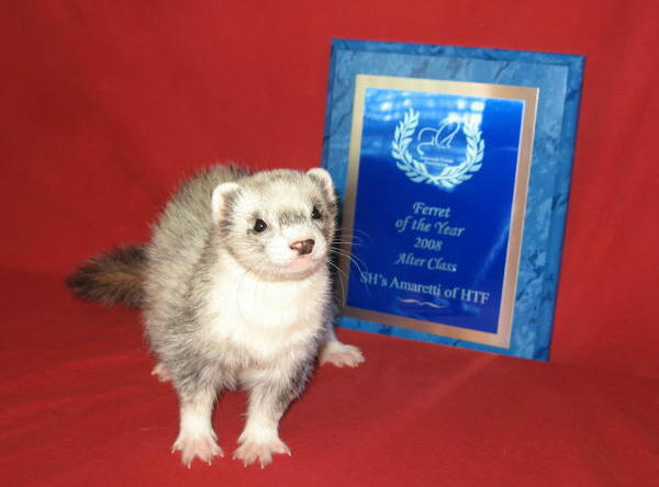 AFA 2008 Alter Ferret of the Year - SH's Amaretti of HTF