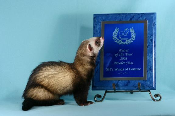 AFA 2008 Breeder Ferret of the Year - SH's Winds of Fortune