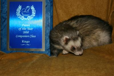 AFA 2008 Companion Ferret of the Year - Ringo