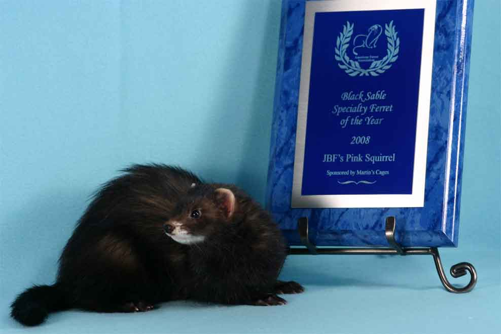 AFA 2008 Black Sable Specialty Ferret of the Year - JBF's Pink Squirrel