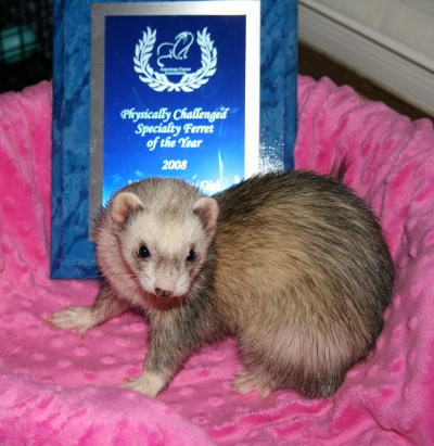 AFA 2008 Physically Challenged Specialty Ferret of the Year - NB's O'Darby Girl