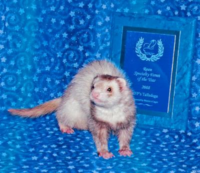 AFA 2008 Roan Specialty Ferret of the Year - FFP's Talladega