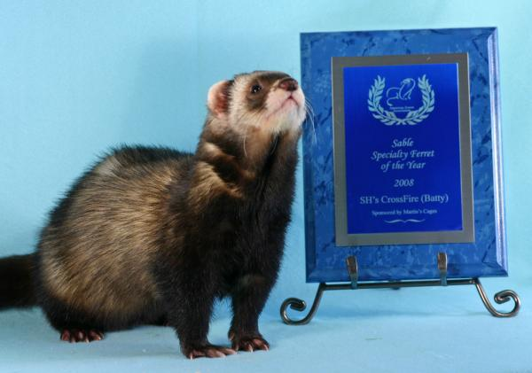 AFA 2008 Sable Specialty Ferret of the Year - SH's CrossFire (Batty)