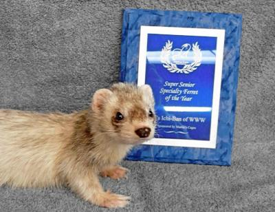 AFA 2008 Senior Specialty Ferret of the Year - SH's Ichi-Ban of WWW