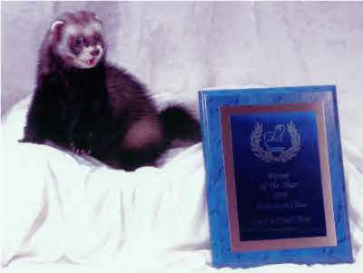 AFA 2009 Adolescent Ferret of the Year - QLF's Pistol Pete