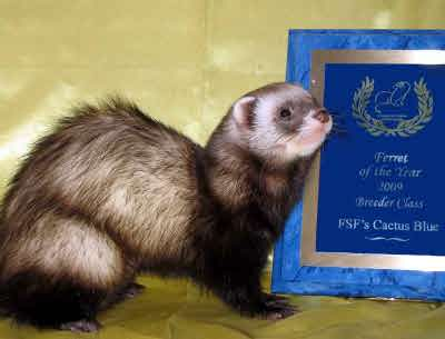 AFA 2009 Breeder Ferret of the Year - FSF's Cactus Blue