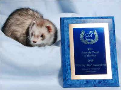 AFA 2009 Mitt Specialty Ferret of the Year - SHD's Say I Won't Gunner of FSF