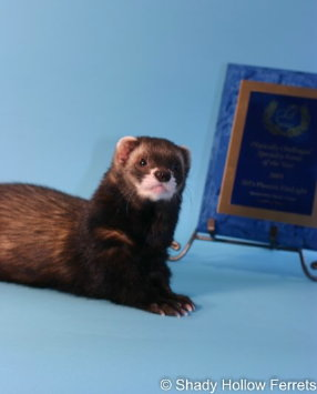 AFA 2009 Physically Challenged Specialty Ferret of the Year - SH's Phoenix FireLight