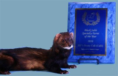 AFA 2010 Black Sable Specialty Ferret of the Year - JBF's Booty Call (Calli)