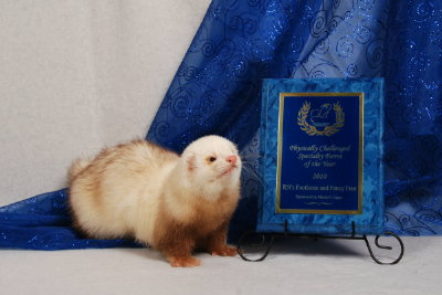 AFA 2011 Physically Challenged Specialty Ferret of the Year - RN's Footloose and Fancy Free