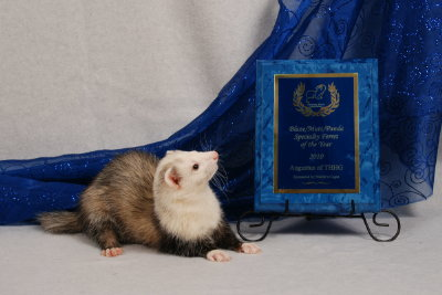 AFA 2010 Blaze/Panda/Mutt Specialty Ferret of the Year - Augustus of THHG