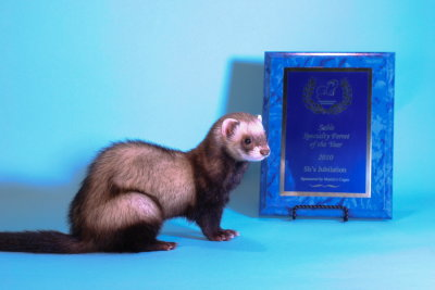 AFA 2010 Sable Specialty Ferret of the Year - SH's Jubilation
