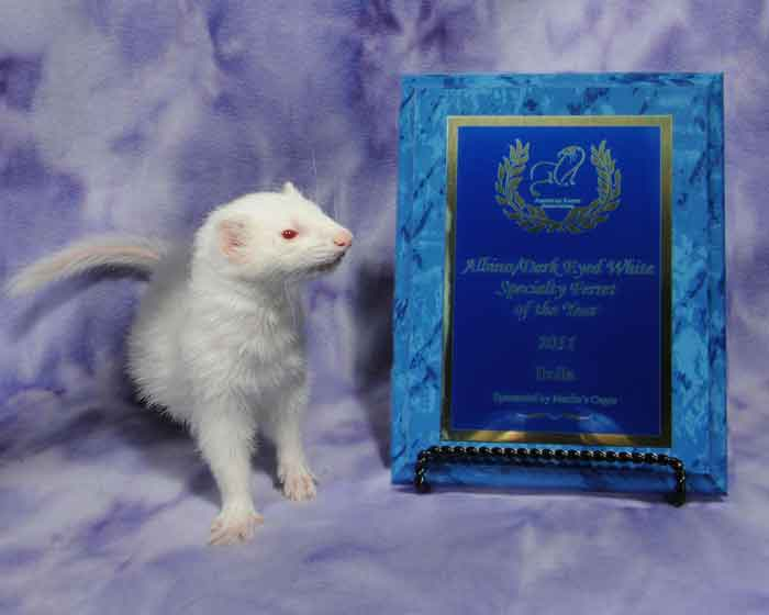 AFA 2011 Albino / Dark-eyed White Specialty Ferret of the Year - Bella