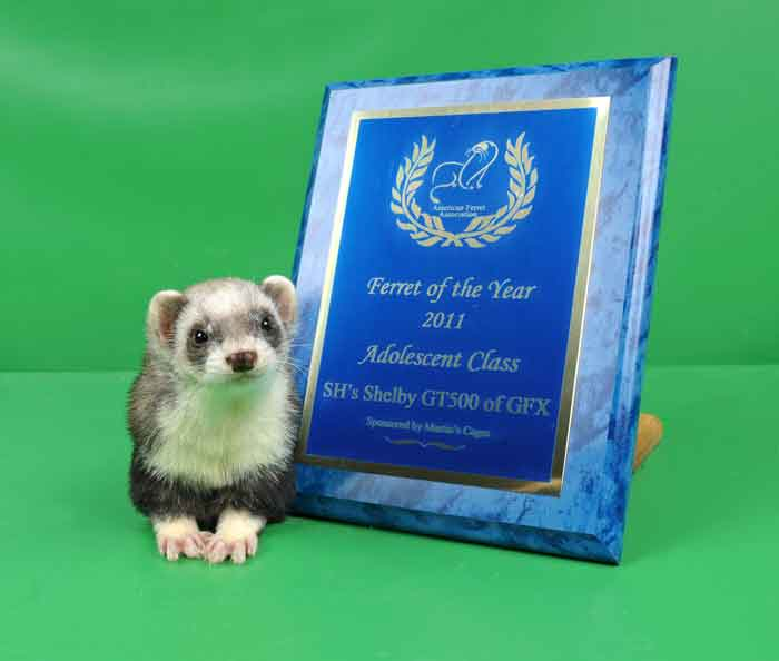 AFA 2011 Adolescent Ferret of the Year - SH's Shelby GT500 of GFX