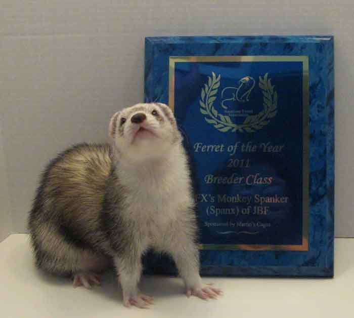 AFA 2011 Breeder Ferret of the Year - GFX's Monkey Spanker (Spanx) of JBF