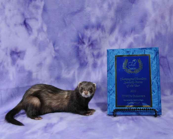 AFA 2011 Champagne/Chocolate Specialty Ferret of the Year - FPWC's Guinevere