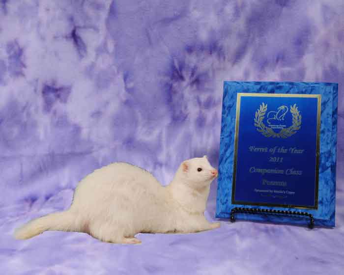 AFA 2011 Companion Ferret of the Year - Possum