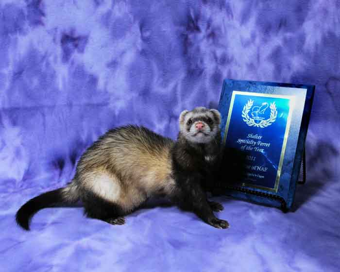 AFA 2011 Shelter Specialty Ferret of the Year - Odie Bear of NAF