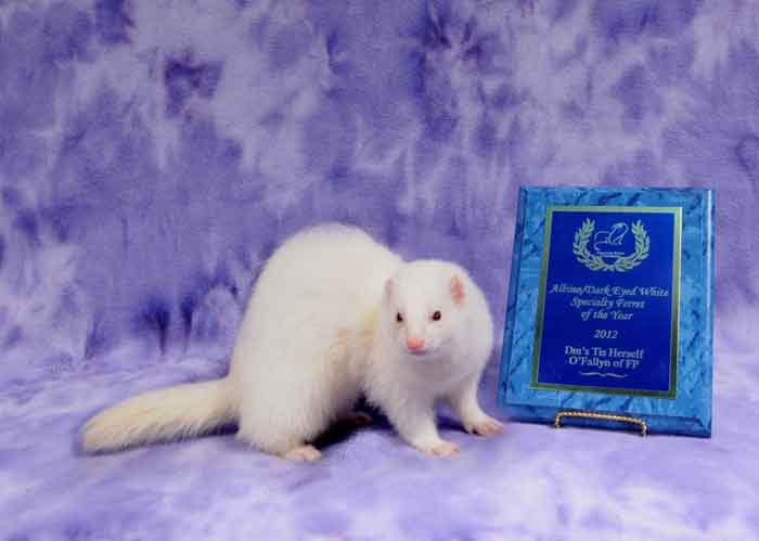 AFA 2012 Albino/Dark-eyed White Specialty Ferret of the Year - DM's Tis Herself O'Fallyn of FP