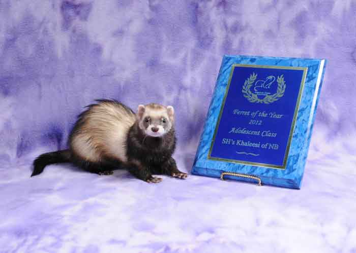 AFA 2012 Adolescent Ferret of the Year - SH's Khaleesi of NB