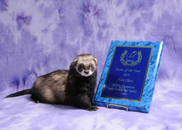 AFA 2012 Alter Ferret of the Year - TCF's Theodore (aka Teddy the Tank)