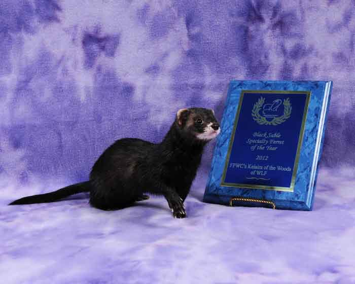 AFA 2012 Black Sable Specialty Ferret of the Year - FPWC's Kieaira of the Woods of WLF