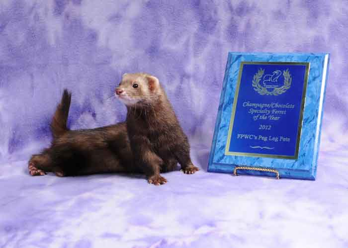 AFA 2012 Champagne/Chocolate Specialty Ferret of the Year - FPWC's Peg Leg Pete