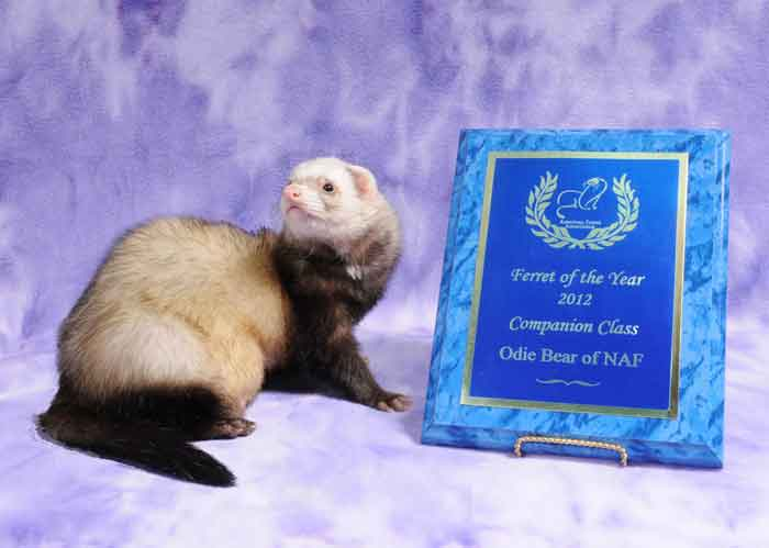 AFA 2012 Companion Ferret of the Year - Odie Bear of NAF