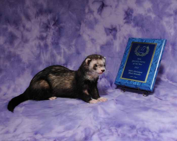 AFA 2012 Mitt Specialty Ferret of the Year - SHD's McGuigan Black Moscatto