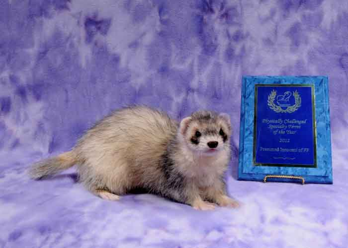 AFA 2012 Physically Challenged Specialty Ferret of the Year - Presumed Innocent of FP