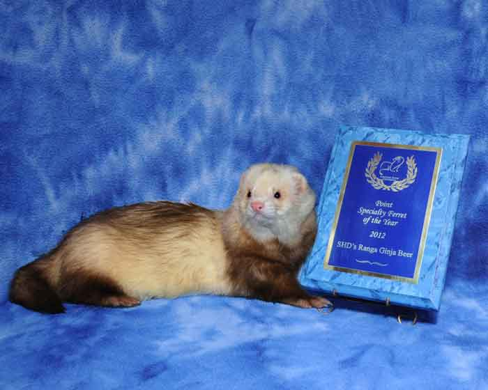 AFA 2012 Point Specialty Ferret of the Year - SHD's Ranga Ginja Beer