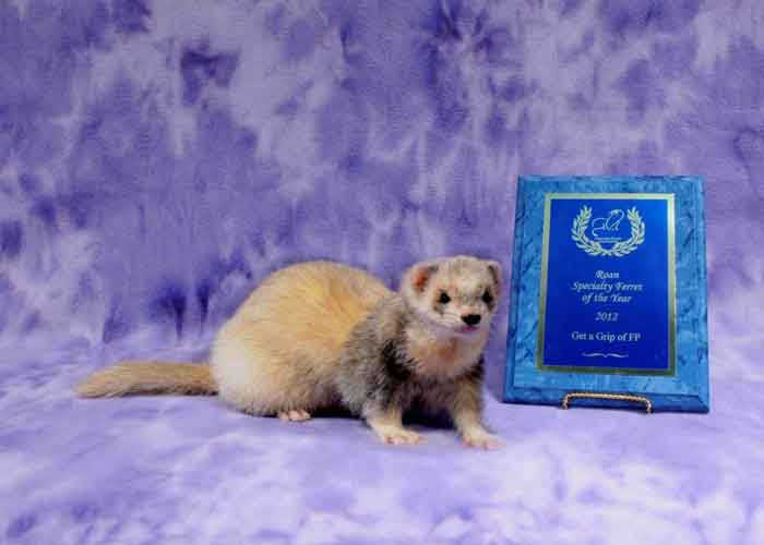 AFA 2012 Roan Specialty Ferret of the Year - Get a Grip of FP