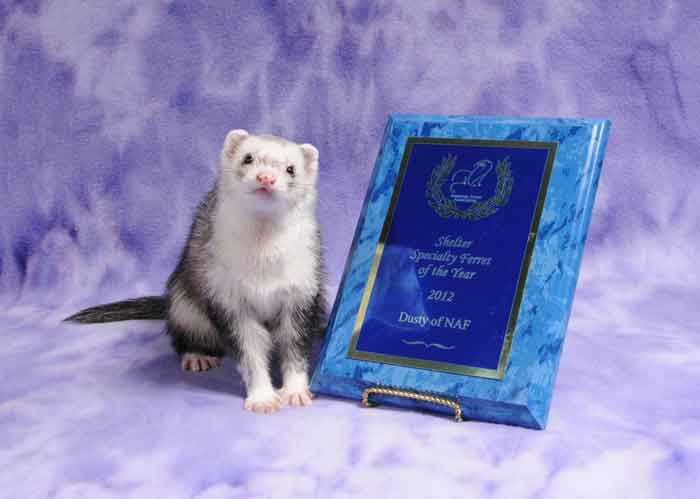 AFA 2012 Shelter Specialty Ferret of the Year - Dusty of NAF