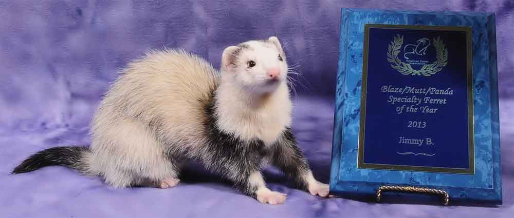 AFA 2013 Blaze/Panda/Mutt Specialty Ferret of the Year - Jimmy B.