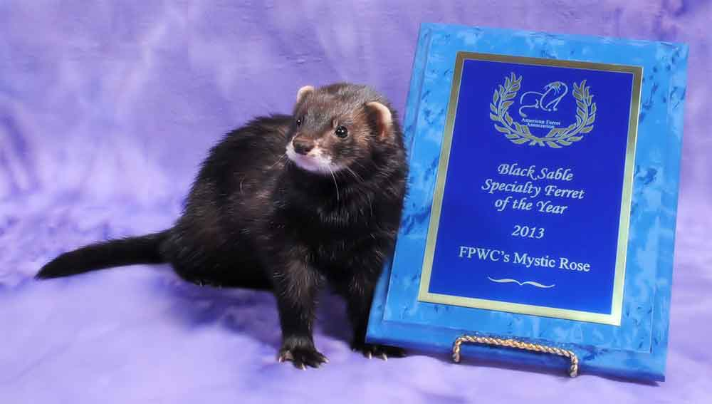 AFA 2013 Black Sable Specialty Ferret of the Year - FPWC's Mystic Rose