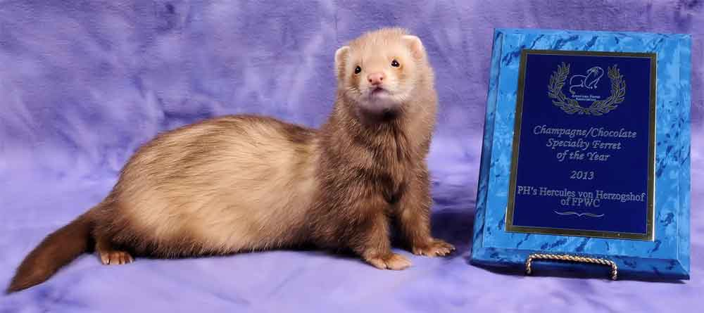 AFA 2013 Champagne/Chocolate Specialty Ferret of the Year - PH's Hercules von Herzogshof of FPWC