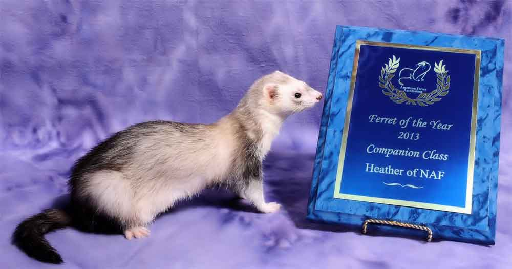 AFA 2013 Companion Ferret of the Year - Heather of NAF