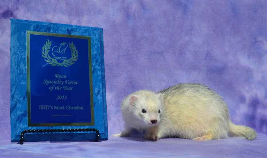 AFA 2013 Roan Specialty Ferret of the Year - SHD's Moet Chandon