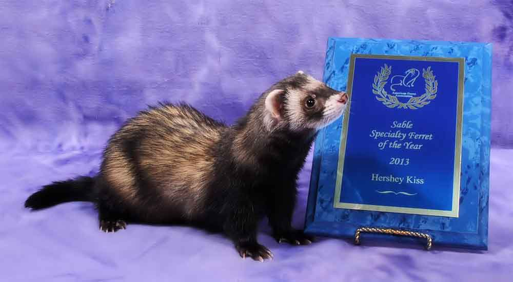 AFA 2013 Sable Specialty Ferret of the Year - Hershey Kiss