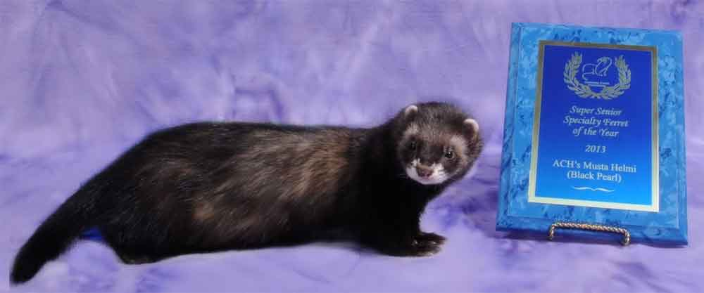 AFA 2013 Senior Specialty Ferret of the Year - ACH's Musta Helmi (Black Pearl)
