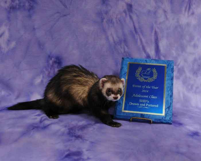 AFA 2014 Adolescent Ferret of the Year - SHD's Drawn and Portered
