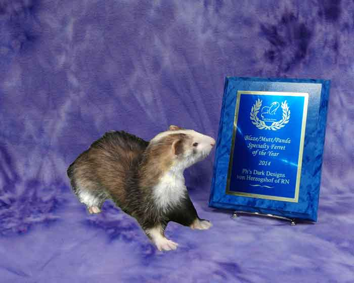 AFA 2014 Blaze/Panda/Mutt Specialty Ferret of the Year - PH's Dark Designs von Herzogshof of RN