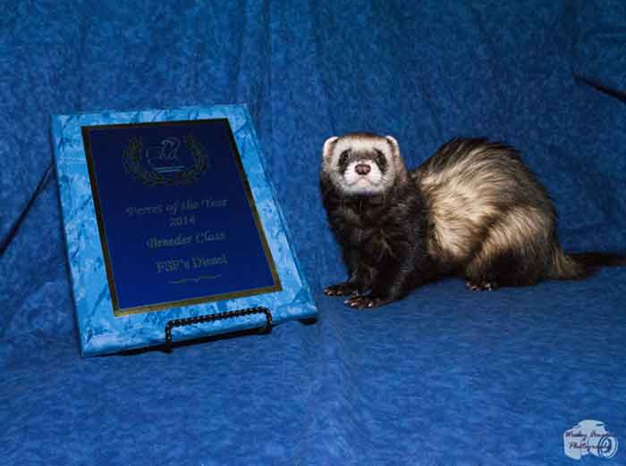 AFA 2014 Breeder Ferret of the Year - FSF's Diesel
