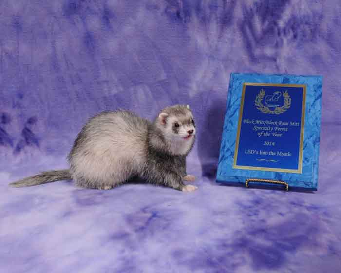 AFA 2014 Black Mitt/Black Roan Mitt Specialty Ferret of the Year - LSD's Into the Mystic