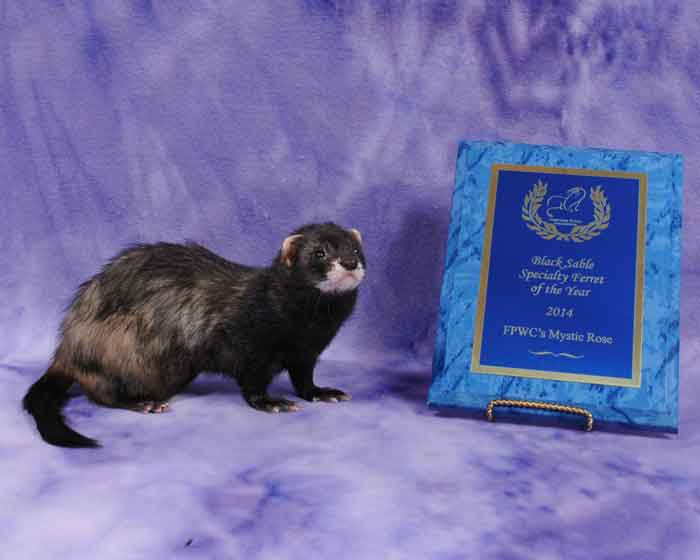 AFA 2014 Black Sable Specialty Ferret of the Year - FPWC's Mystic Rose