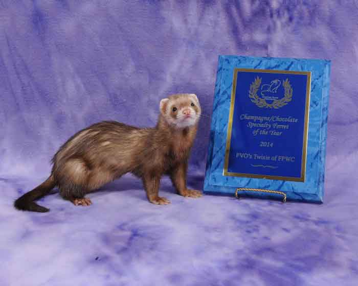 AFA 2014 Champagne/Chocolate Specialty Ferret of the Year - PVO's Twixie of FPWC