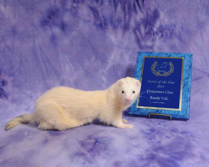 AFA 2014 Companion Ferret of the Year - Randy CnL
